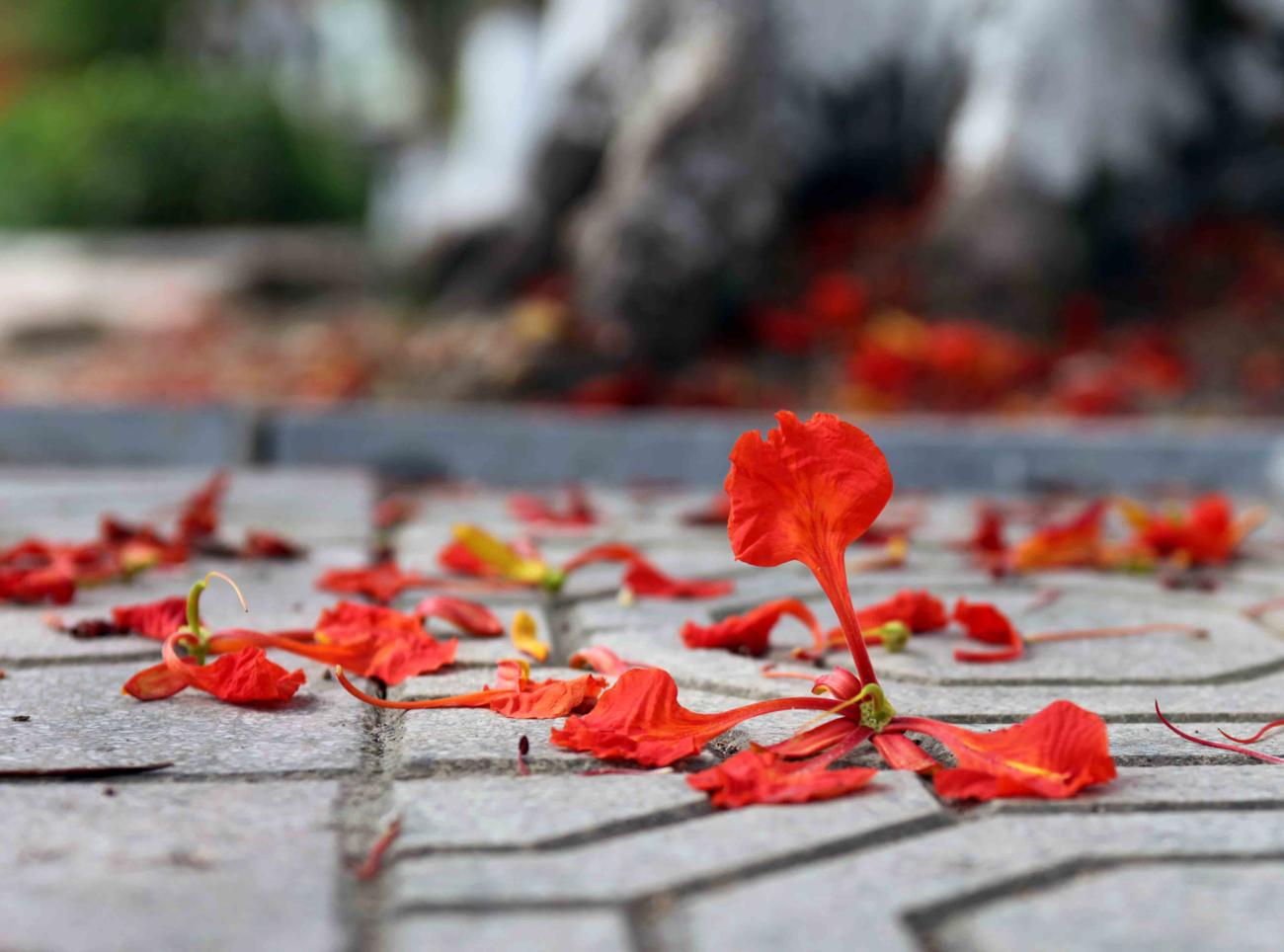 phượng hồng rụng rơi những ngày cuối Hạ