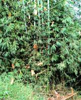 Cây Hóp sào - cây hàng rào