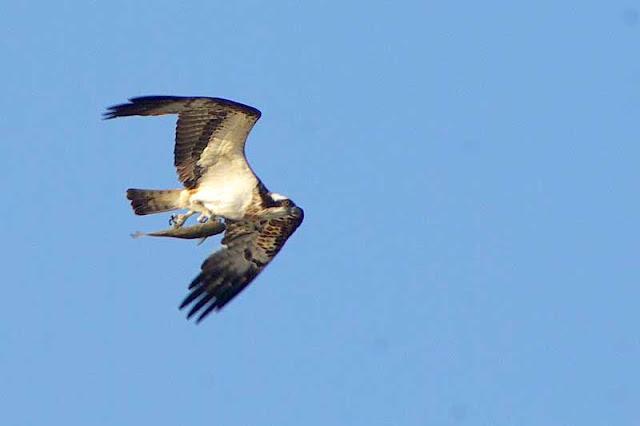 osprey, bird, fish