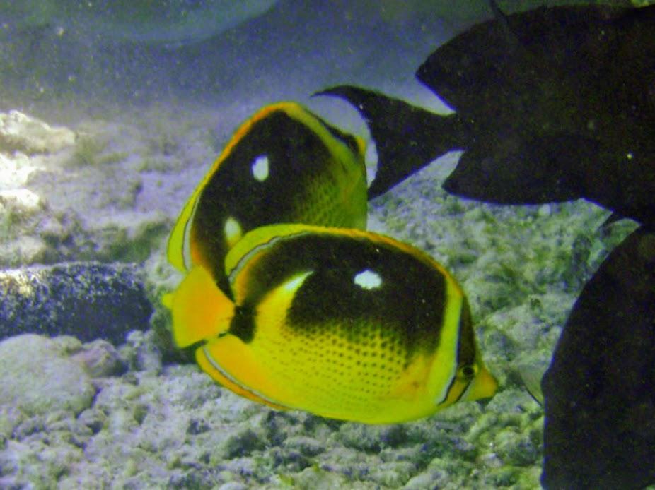 Chaetodon quadrimaculatus (Fourspot Butterflyfish), Aitutaki.