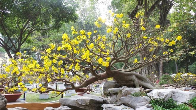 hình ảnh cây hoa mai lớn cực đẹp cho ngày Tết