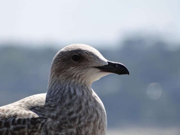 DSC01549.jpg - Les oiseaux � Saint-Malo par Bretagne-web.fr