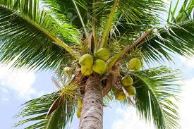 Close Up Of Coconut Palm Tree Stock Photo, Picture And Royalty ...