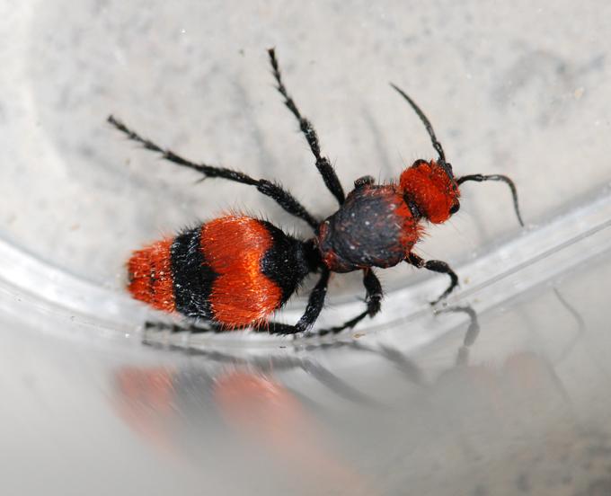 how to kill red velvet ants