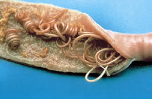 Tape worms in the intestines - Bayer Drontal