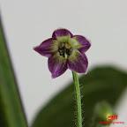 c-praetermissum_F
