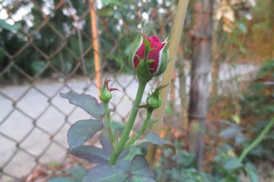 Nụ hoa hồng leo mộng thi, hoa nở thành chùm