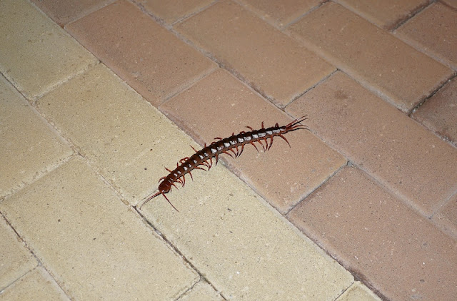 A giant Malaysian Cherry Red Centipede (Scolopendra subspinipes dehaani) in Hong Kong, China