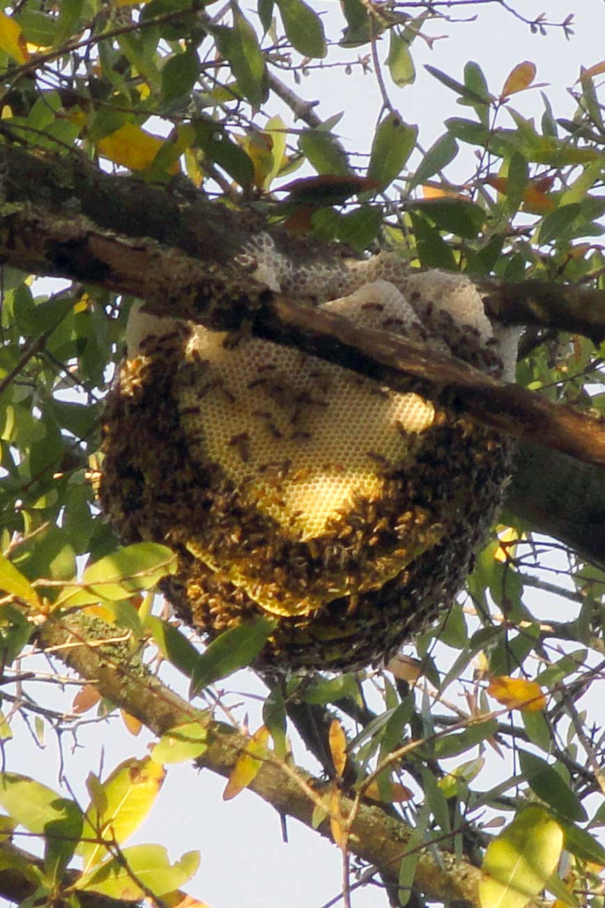 all florida bee removal call toll free 1 855 930 bees 2337