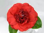 鮮紅色 唐子咲き 中輪