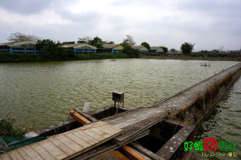 好蝦冏男社池塘水是優質綠