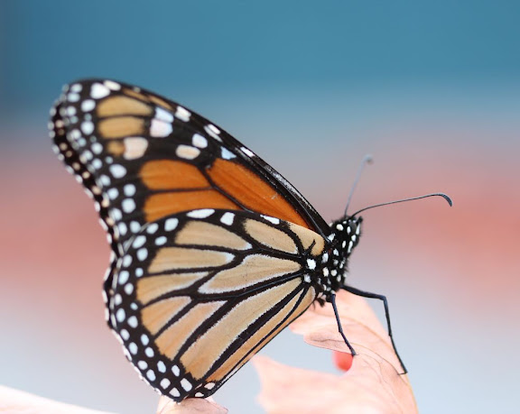 a monarch butterfly on a leaf, with a teal and pink background