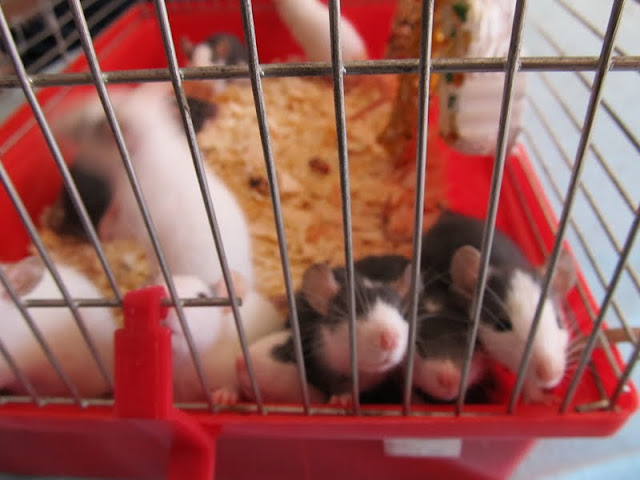 Our Rattus norvegicus - updated with 13 kittens IMG_0155