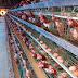 Đơn hàng chăn nuôi gà cần 9 nữ thực tập sinh làm việc tại Kumamoto Nhật Bản tháng 04/2017