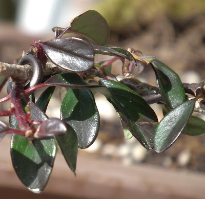Cotoneaster Horizontalis burgundy- green foliage in March