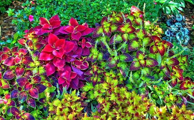 Hạt giống cây lá màu