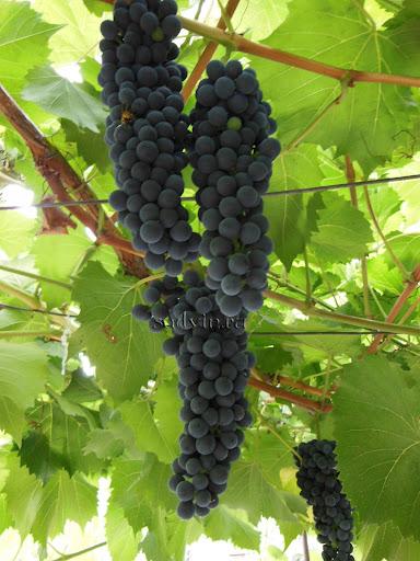 Виноград «Бако»