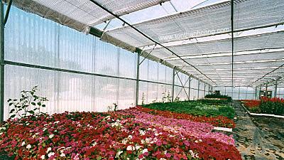 Tôn nhựa sợi thủy tinh lấy sáng làm vách cho nhà kính trồng hoa