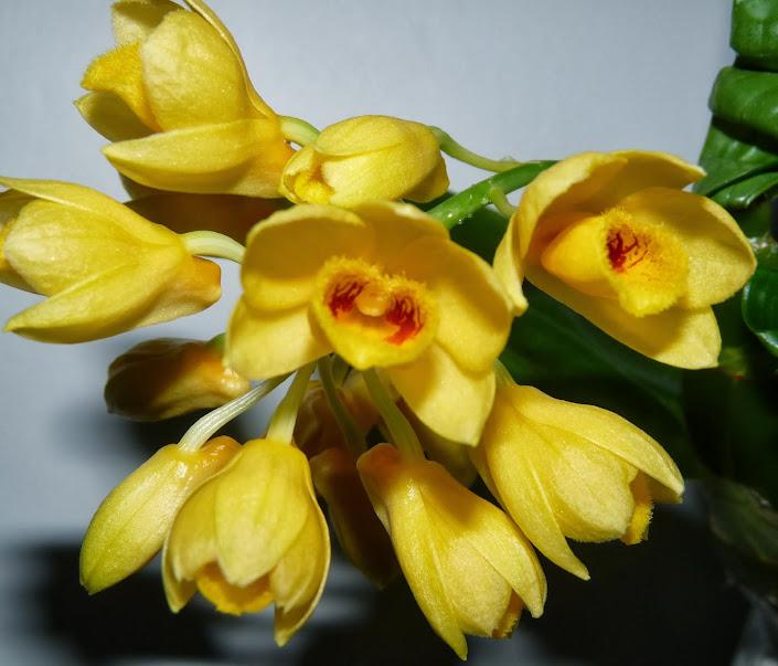 Dendrobium sulcatum P1370303