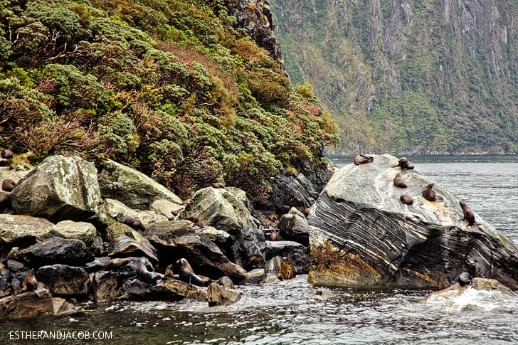 Sea Lions at Milford Sound New Zealand | Day 5 New Zealand Sweet as South Contiki Tour | A Guide to South Island