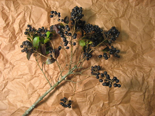Privet berries