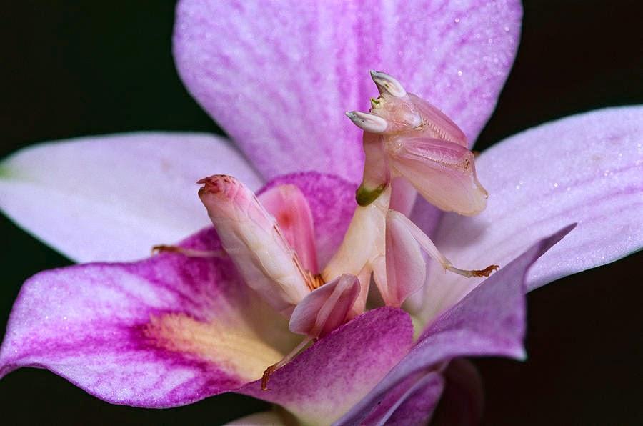 3-orchid-mantis-hymenopus-coronatus-thomas-marent.jpg