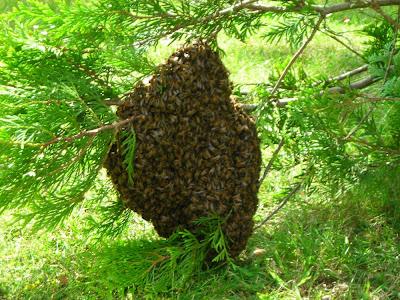 Σμηνουργία η χαρά των μελισσών ο εφιάλτης των μελισσοκόμων