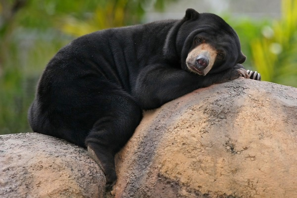Beruang Madu Helarctos malayanus