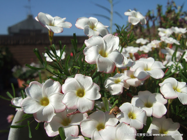 酢醬草 Oxalis versicolor(正面) | iGarden花寶愛花園園藝文摘Plus