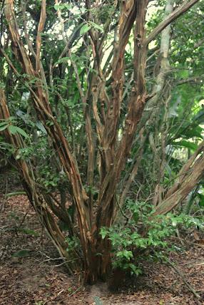 Bosque dos Camboins - Ilha do Pontal - novas imagens Mini_2013_03_1610_13_569297