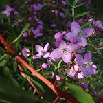 Boronia Pinnata wildflowers in Popran National Park (158941)