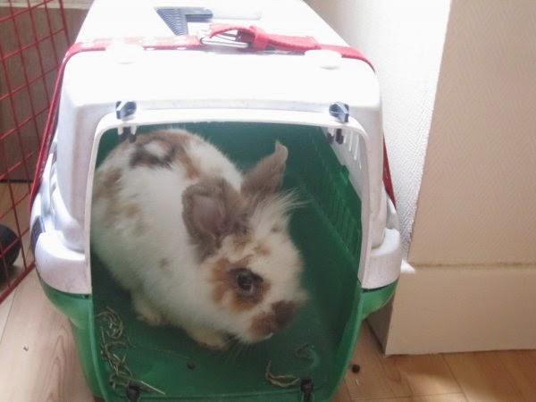 Shota, lapin blanc et marron-[adopté] Shota1-5f97f