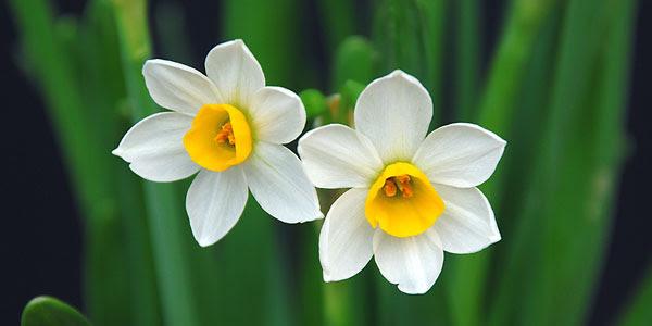 Tìm kiếm ảnh hoa thủy tiên