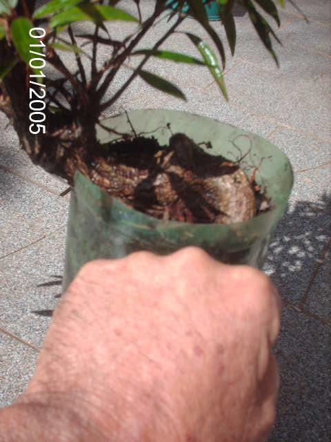 Ficus Nerifolia, Uma raiz de 3 anos... PICT0743