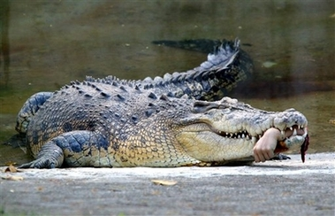 crocodile bite