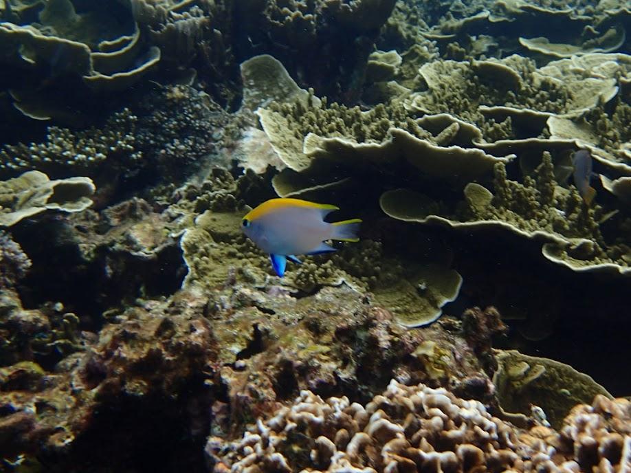 Neoglyphidodon meles (Bowtie Damselfish), Small Lagoon, Miniloc Island, Palawan, Philippines.