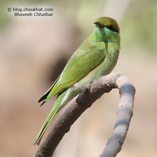 Green Bee-eater [Merops orientalis] photographed in Bhuleshwar