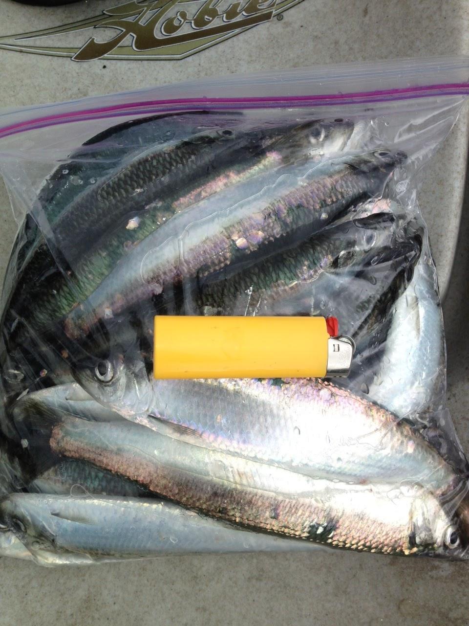 how to catch herring fish