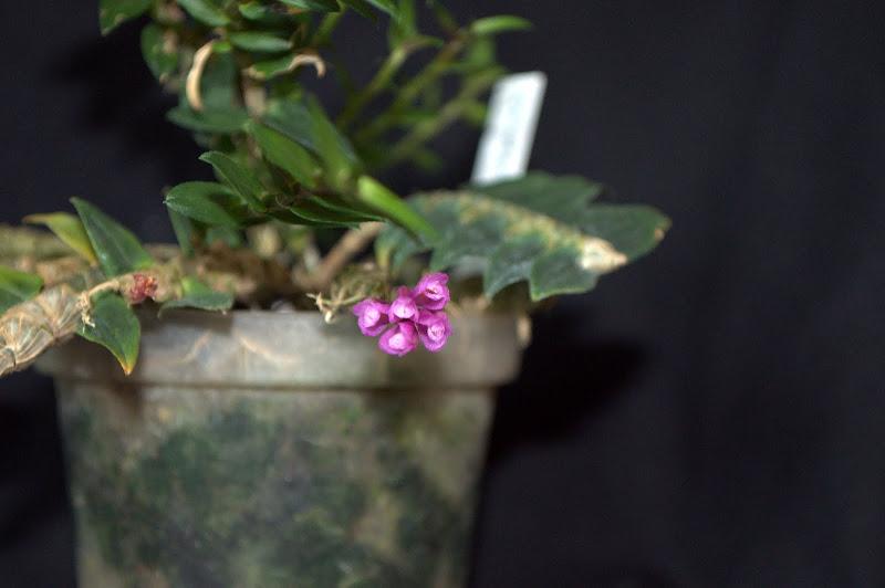 Dendrobium limpidum DSC_0002