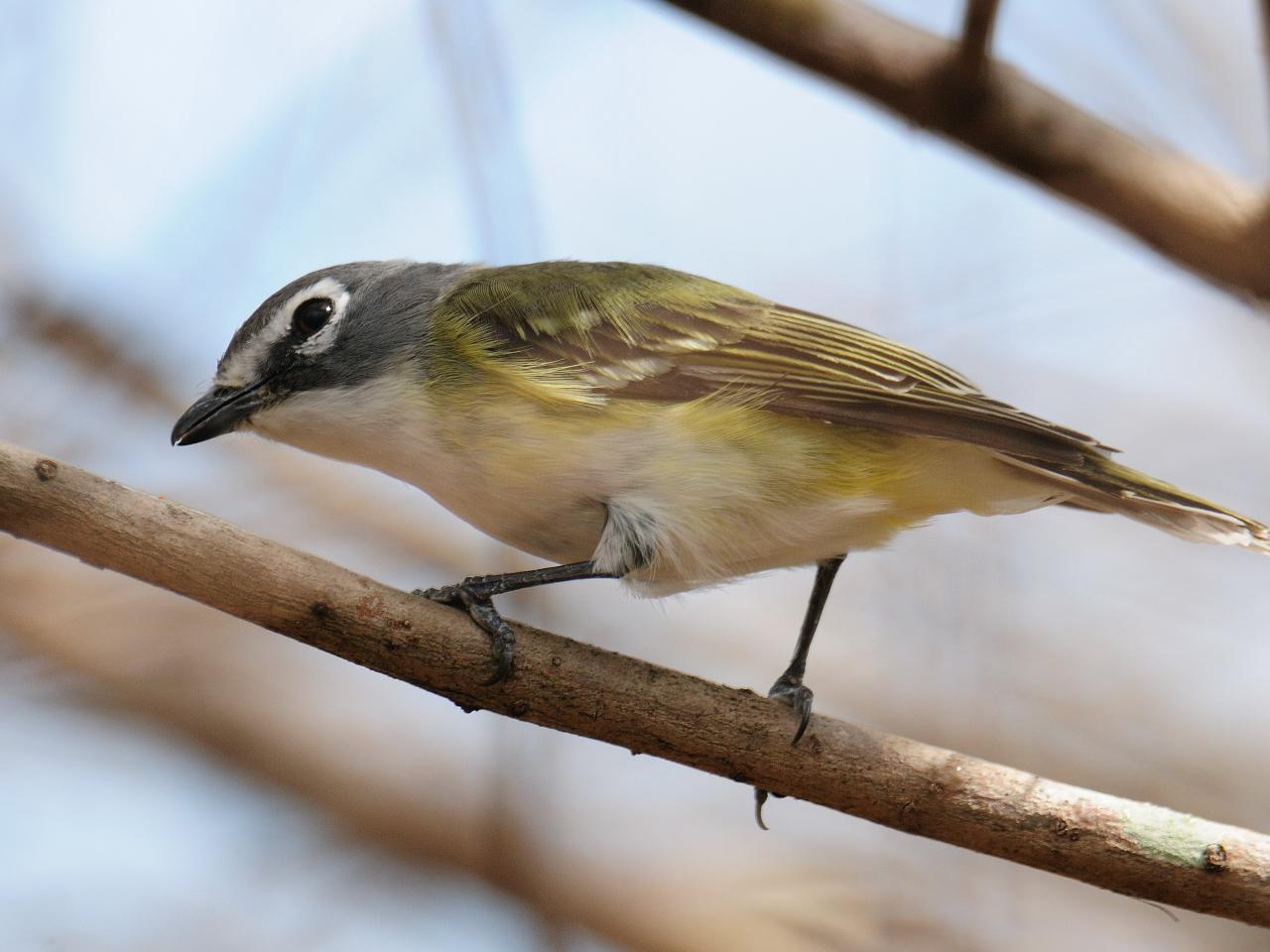 Yellow jay bird