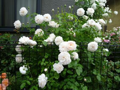 Một bụi hồng Glamis Castle rose nở hoa trắng xóa. Nguồn ảnh: từ Nhật Bản