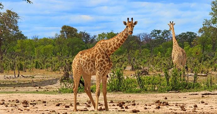 Hwange National Park giraffes