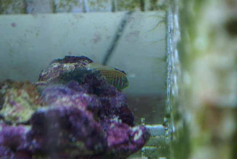 Gobiodon atrangulatus (Green Clown Goby) DSC05156
