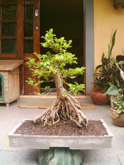 Ficus Microcarpa var. Indica... - Página 2 IMAG0046