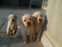 1298607742_167761574_4-labrador-puppies-for-sale-Animals%5B1%5D.jpg