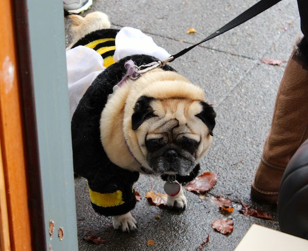 pug in bee costume halloween