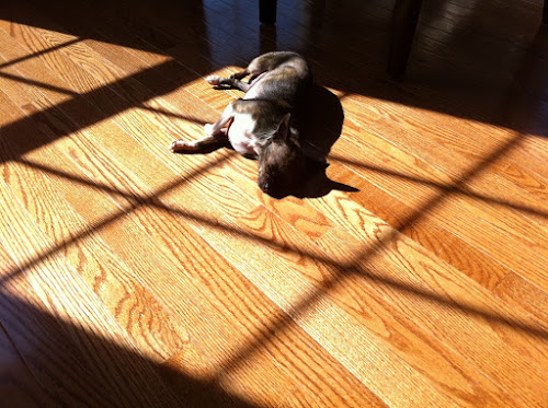 Chihuahua dog snoozing on sun-lit wooden floor