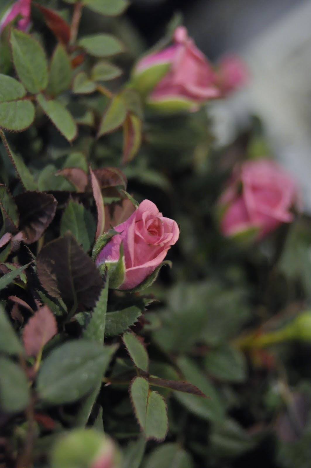 en ros är en ros