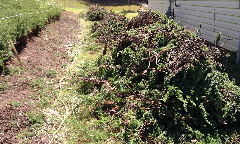 The bushes we trimmed