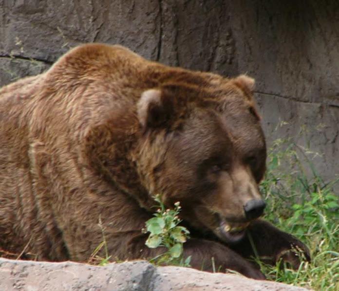 Urso pardo vs Urso polar 6aff4d436d0b8d46